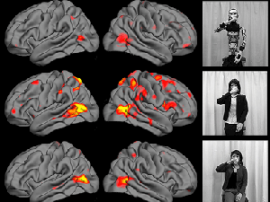 Brain responses as measured by fMRI to videos of a robot (top), android (middle), and human (bottom).