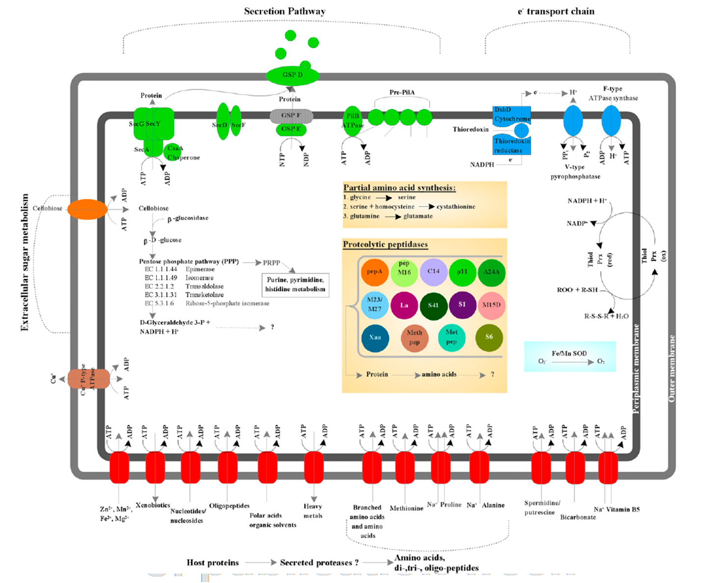 amino acid becoming a membrane transporter The transport of amino acids into the cytoplasm occurs via functionally and   resides within the cell membrane and functions to translocate the amino acid  from.